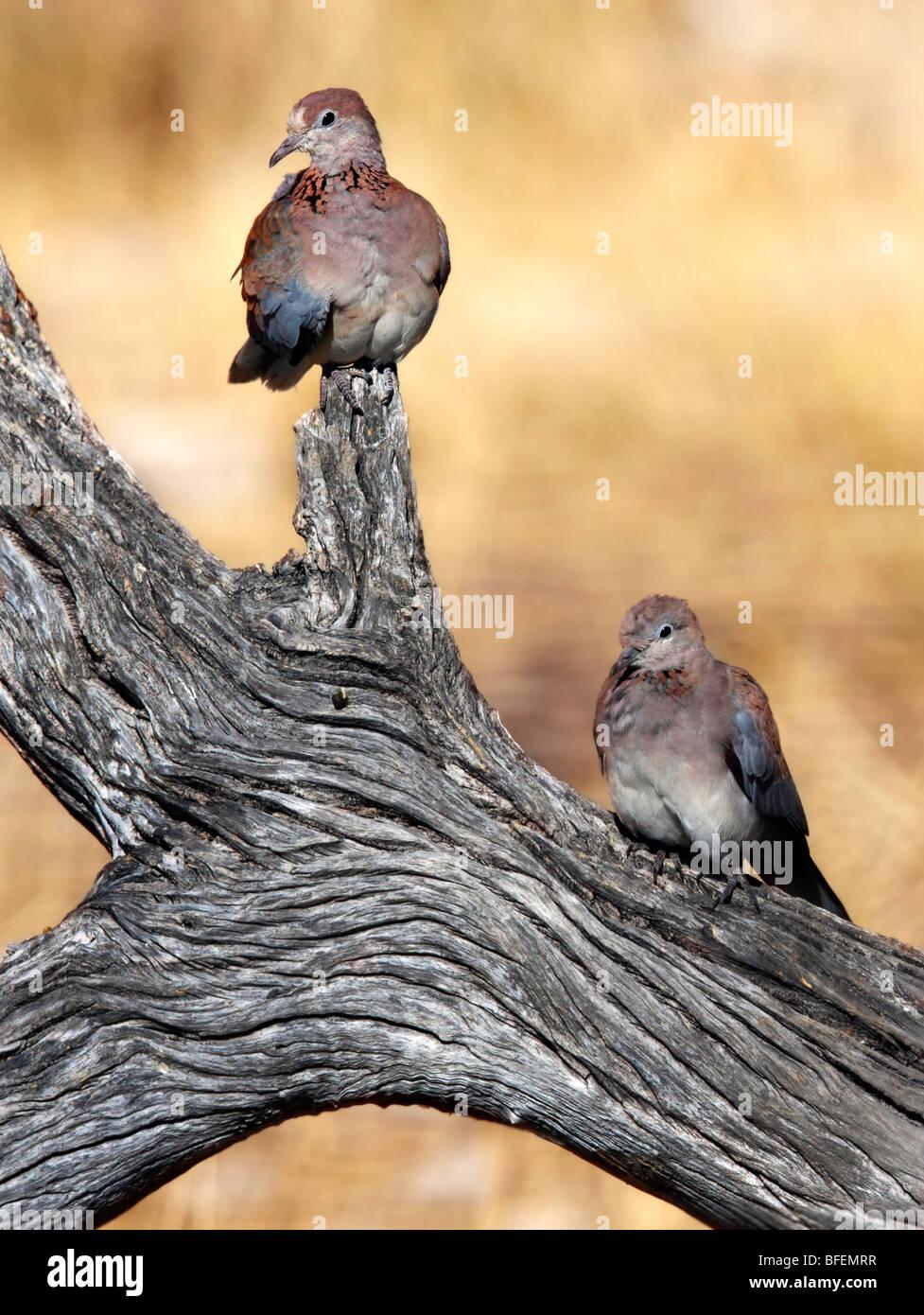 African Laughing Dove Streptopelia Senegalensis Stock Photos