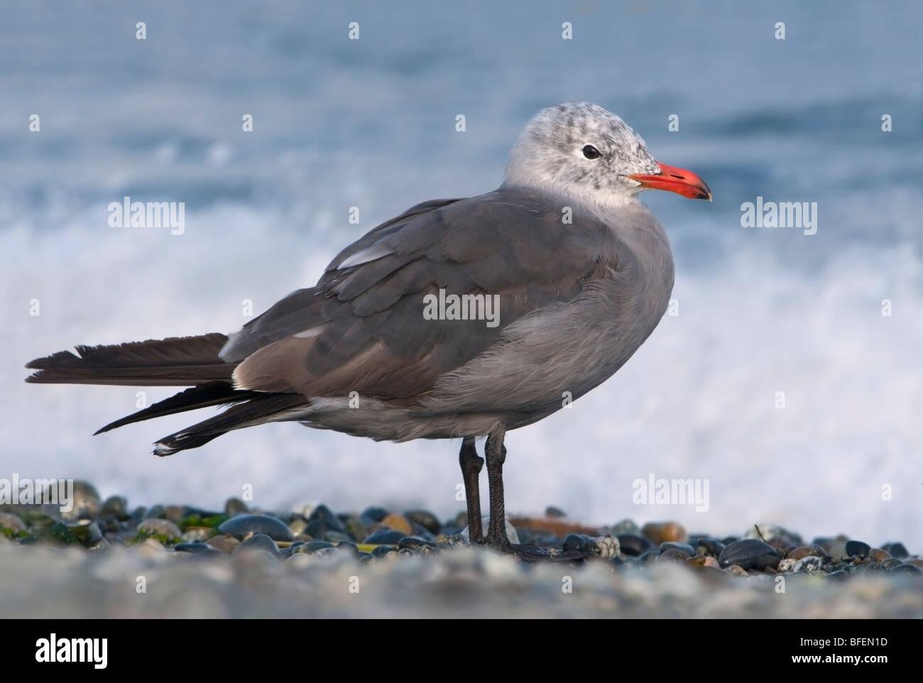 Heermann's gull (Larus heermanni) at Cordova Spit, Saanichton, Vancouver Island, British Columbia, Canada - Stock Image