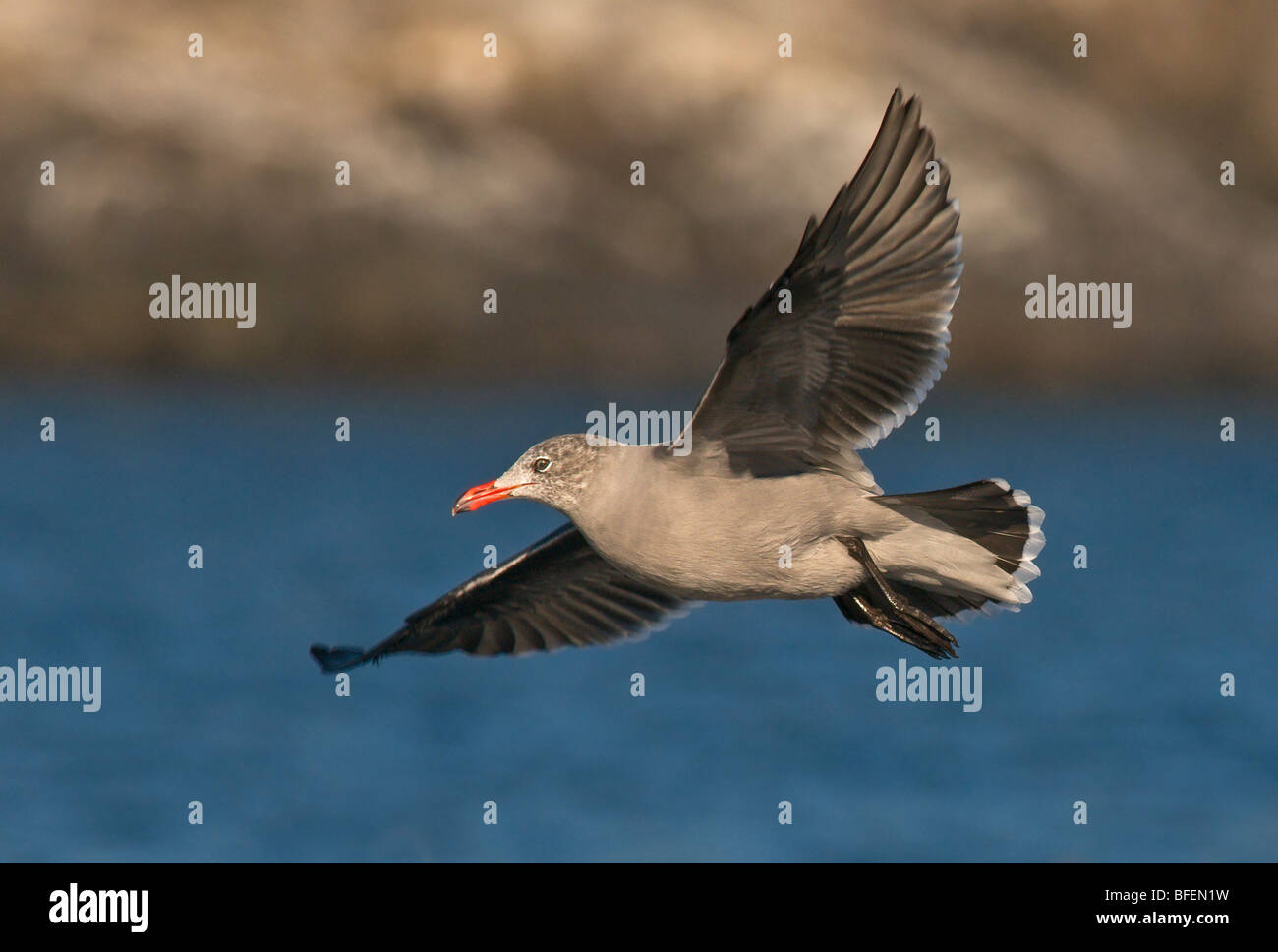 Heermann's gull (Larus heermanni) in flight off Sooke, Vancouver Island, British Columbia, Canada - Stock Image