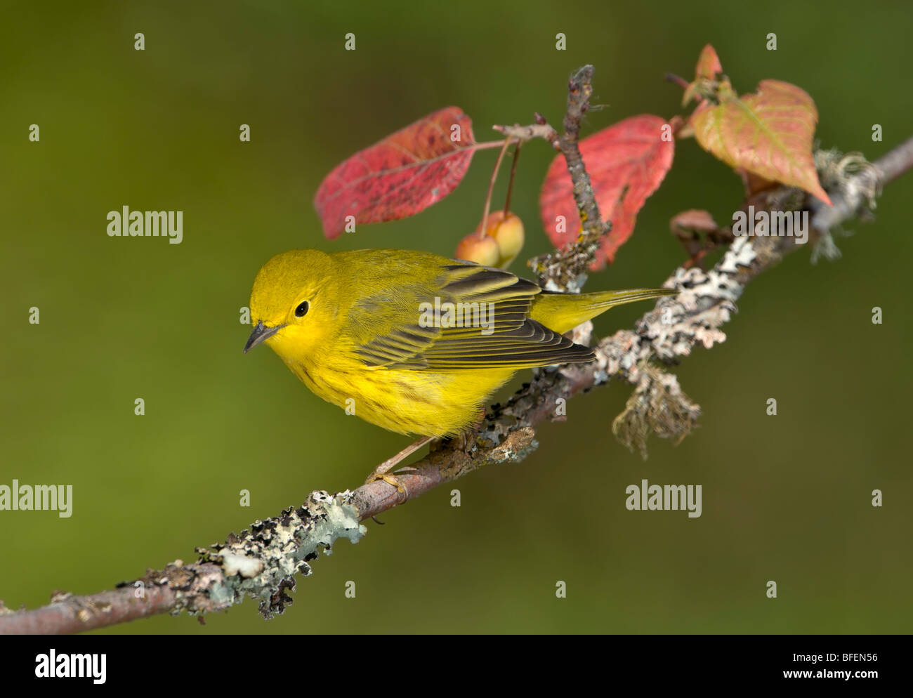Yellow warbler (Dendroica petechia) on perch at Victoria, Vancouver Island, British Columbia, Canada - Stock Image