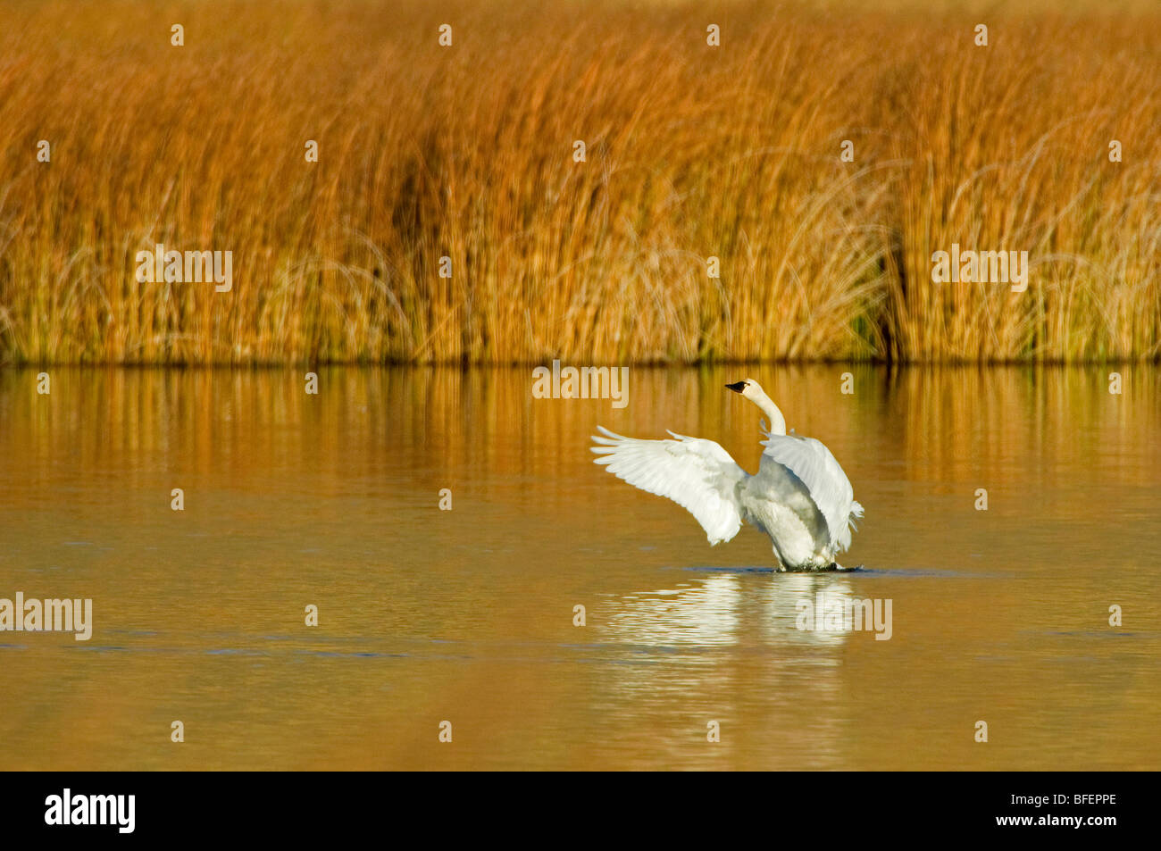A Trumpeter swan (Cygnus buccinator) comes out of water on a beautiful fall day just south of Kamloops British Columbia - Stock Image
