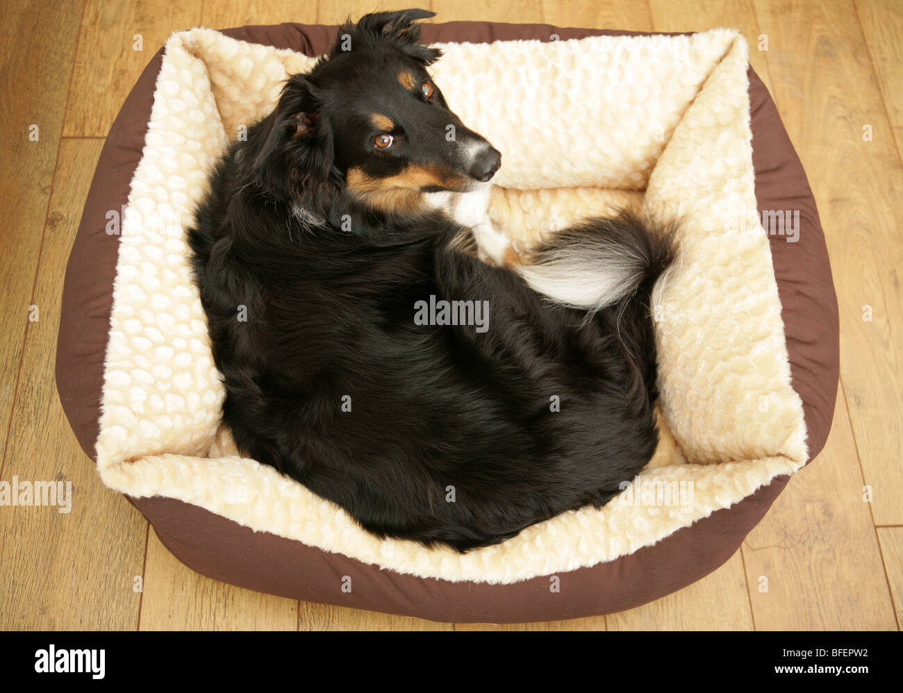 Border Collie Mongral Single adult male in dogs bed Indoors - Stock Image