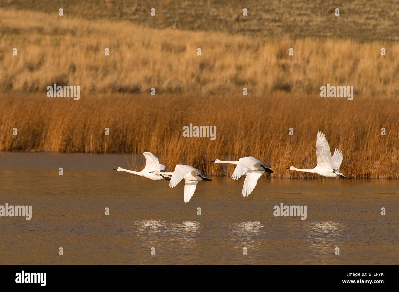 A group of Trumpeter swans (Cygnus buccinator) take flight south to escape winter, near Kamloops, British Columbia, Stock Photo