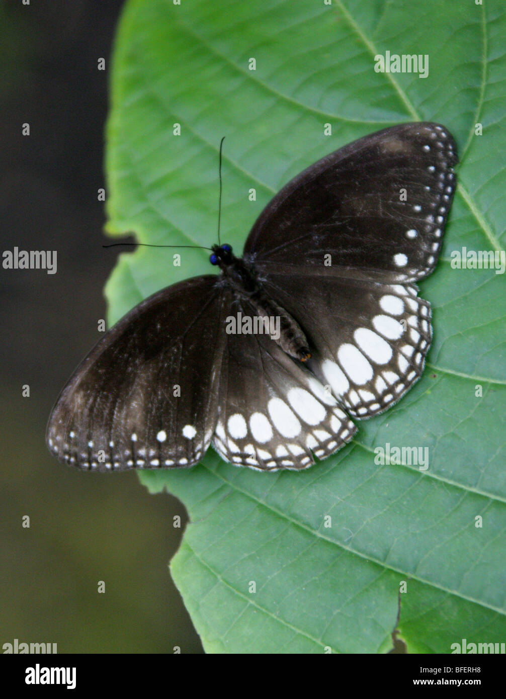 Black and White Nymphalid Butterfly, Nymphalidae. - Stock Image