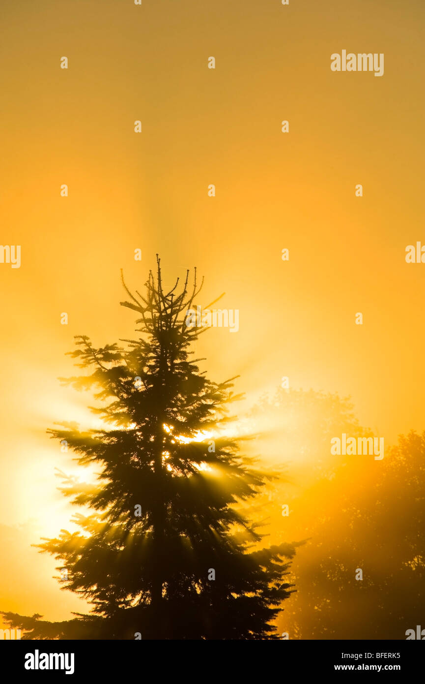 Spruce tree in fog at sunrise, Canada - Stock Image