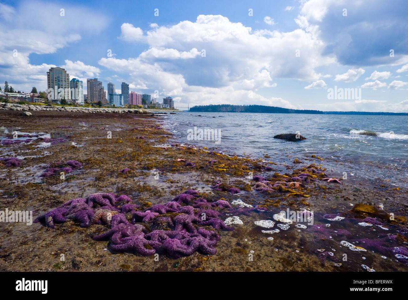 Purple starfish on the beach, West Vancouver, British Columbia, Canada - Stock Image