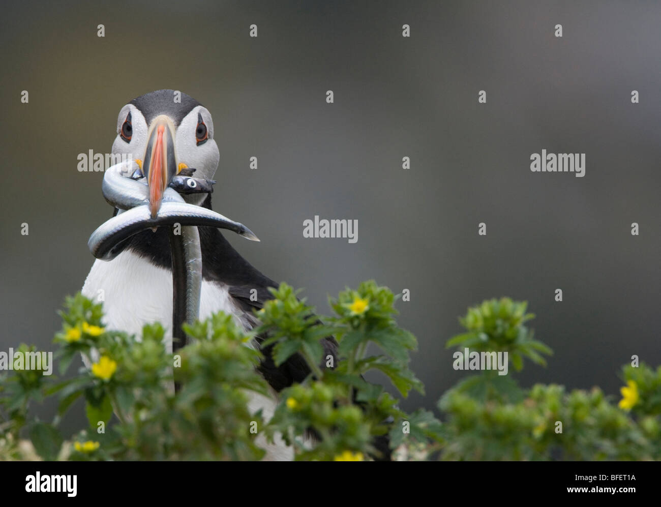Atlantic puffin (Fratercula arctica) breeding adult with sandlance (Ammodytes americanus) in its beak Gull Island - Stock Image