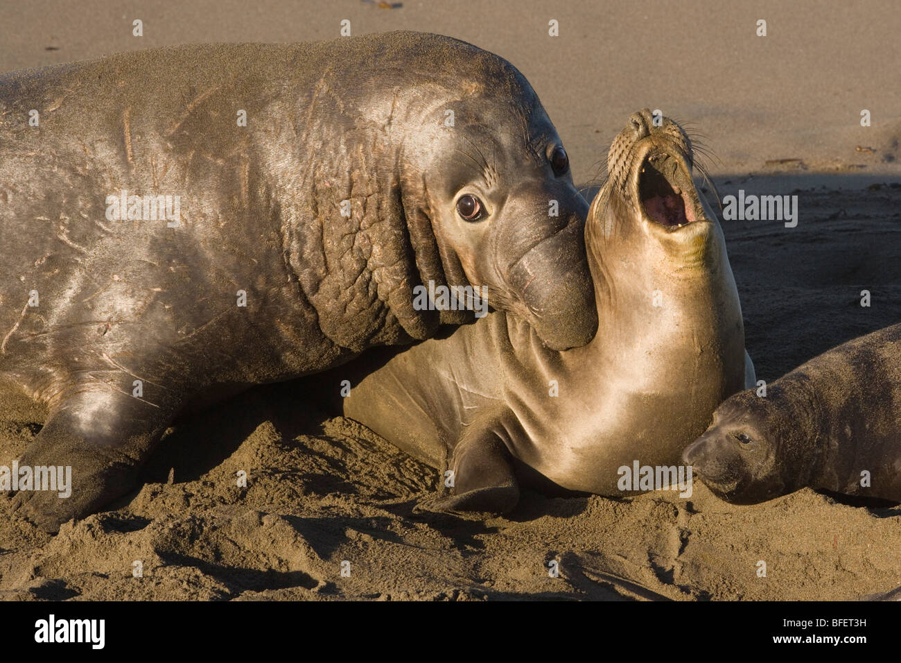 Northern elephant seals (Mirounga angustirostris), male biting female during mating, Piedras Blancas, California, - Stock Image