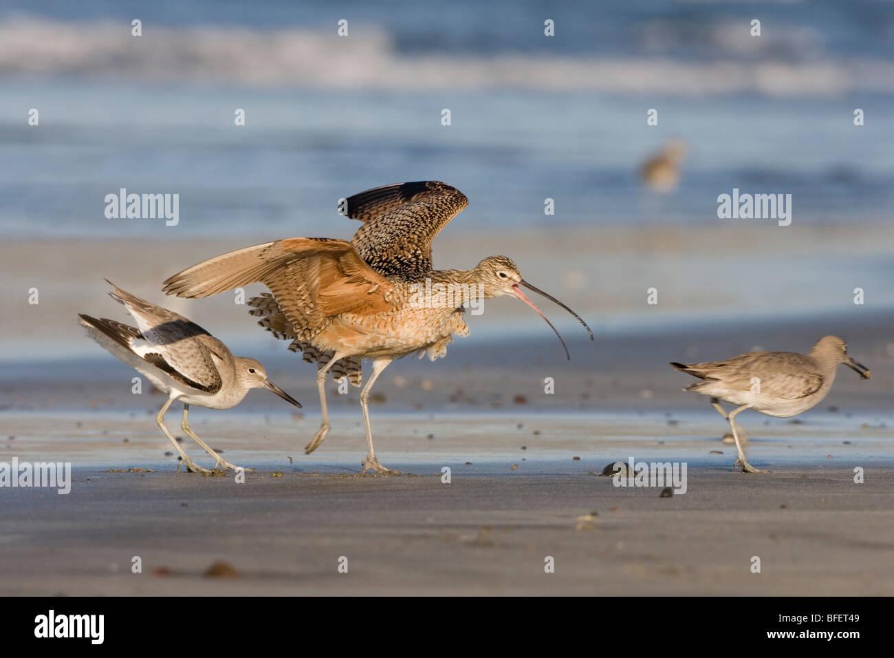 Willet (Catoptrophorus semipalmatus) harassing Long-billed curlew (Numenius americanus) Morro Strand State Beach - Stock Image