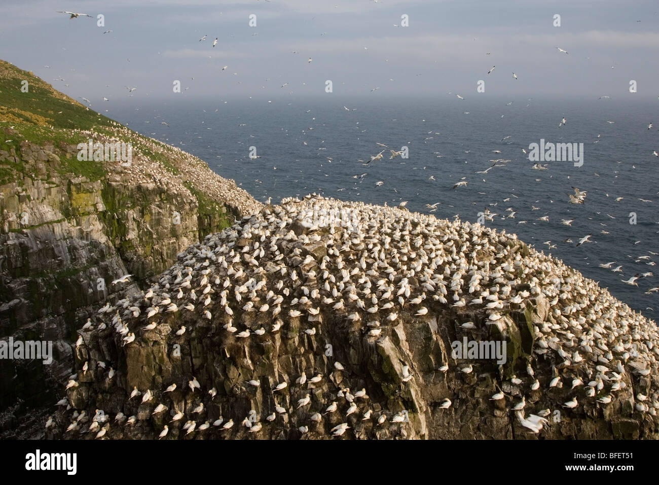 Northern gannet (Morus bassanus) nesting colony on very windy day Bird Rock Cape St. Mary's Ecological Reserve - Stock Image