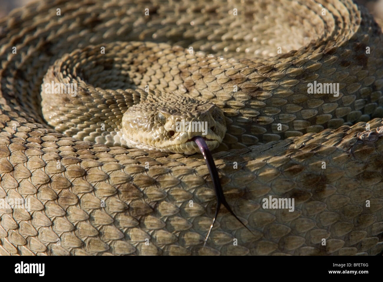 Prairie rattlesnake (Crotalus viridis), Grasslands National Park, Saskatchewan, Canada - Stock Image