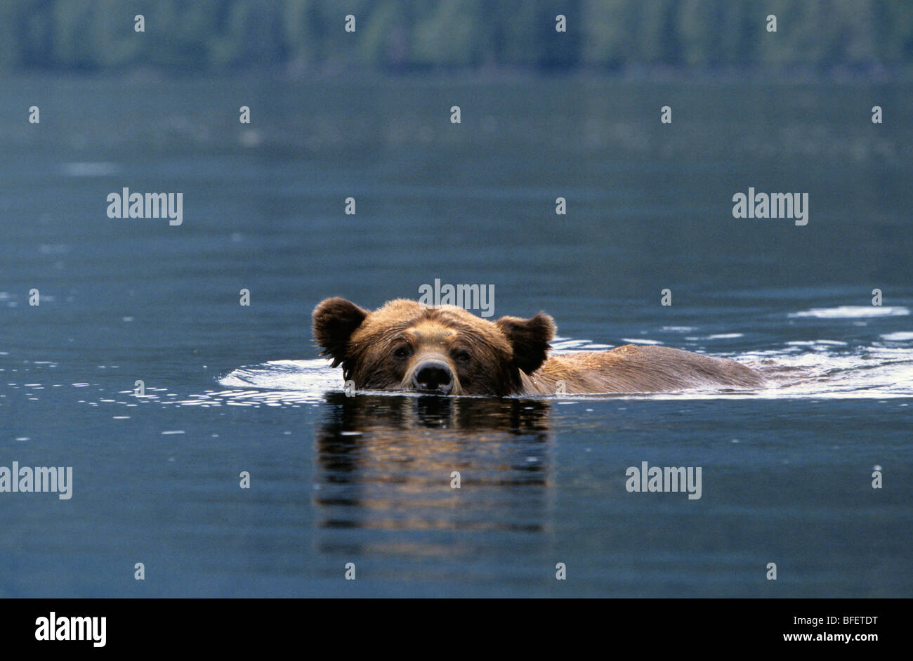 Adult male Grizzly bear (Ursus arctos horribilis) swimming across a saltwater inlet Khutzeymateen Grizzly Bear Sanctuary Stock Photo