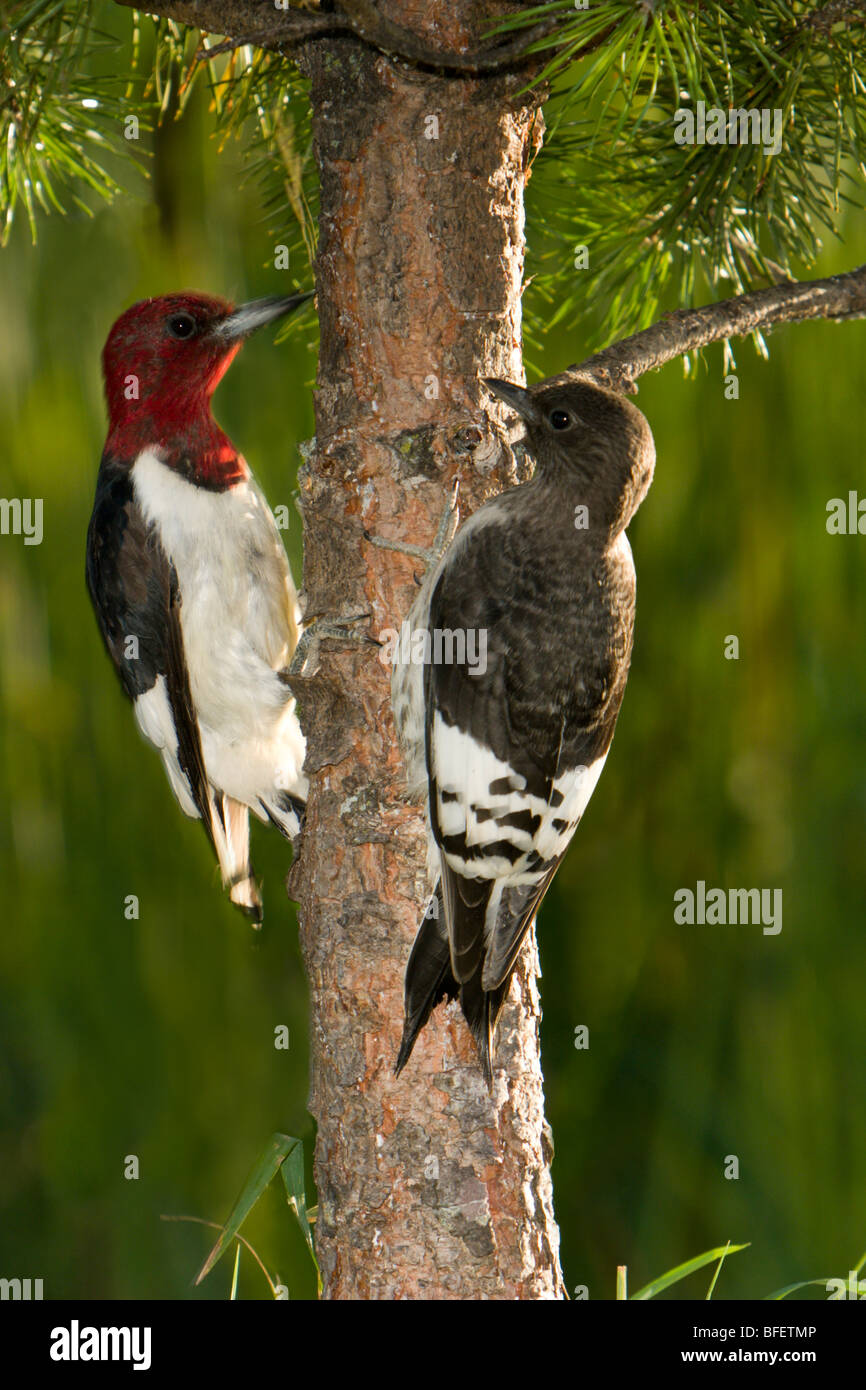 Adult and fledgling Red-headed woodpeckers (Melanerpes erythrocephalus), Gimli, Manitoba, Canada - Stock Image