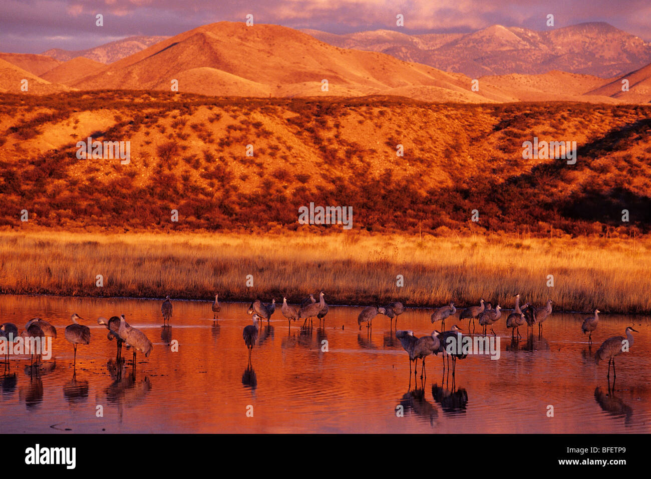 Sandhill cranes (Grus canadensis) at dawn, Bosque del Apache National Wildlife Refuge, New Mexico, USA - Stock Image