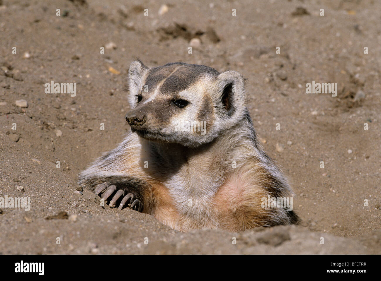 Badger (Taxidea taxus) at burrow near Maple Creek, Saskatchewan, Canada - Stock Image