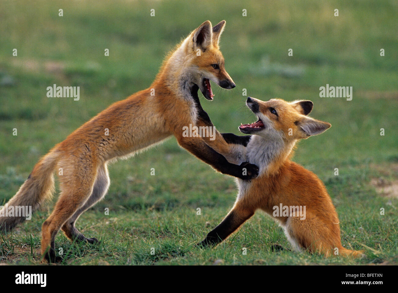 Red fox pups (Vulpes vulpes) playing near Maple Creek, Saskatchewan, Canada - Stock Image