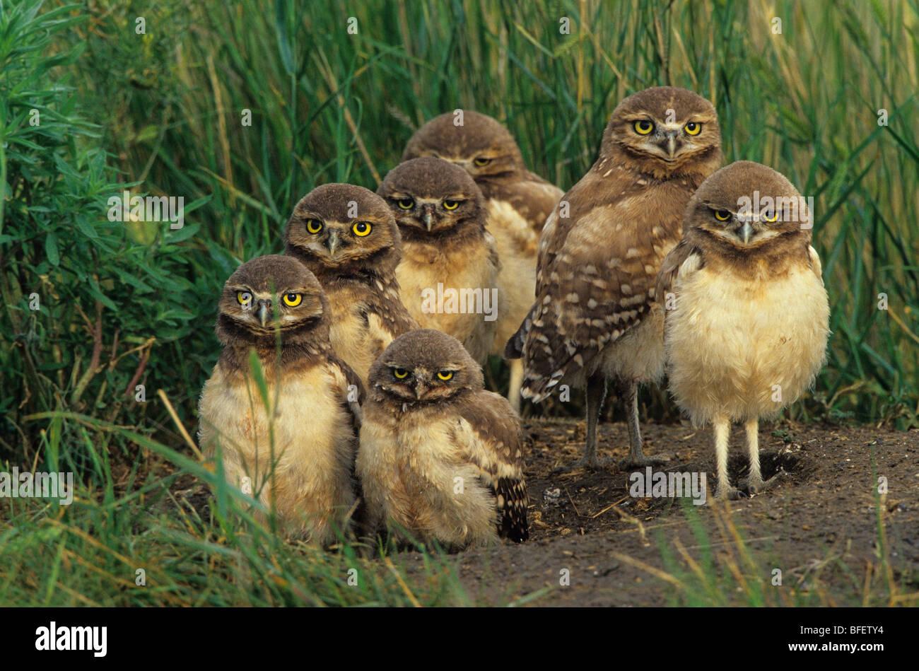 Burrowing owl (Athene cunicularia) chicks at nest burrow near Grasslands National Park, Saskatchewan, Canada Stock Photo