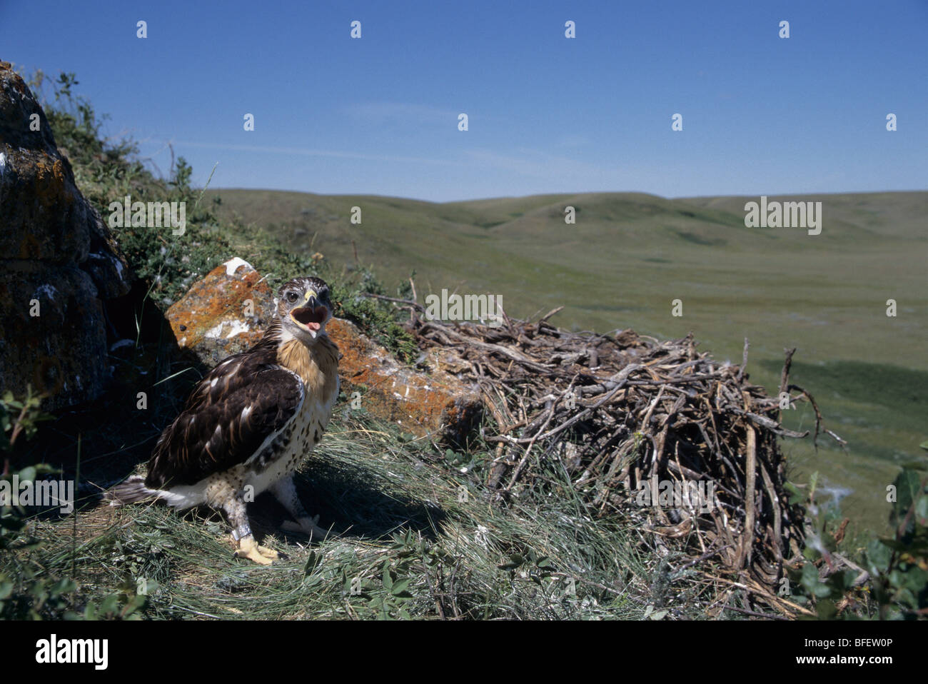 Ferruginous hawk (Buteo regalis) chick at nest near Val Marie, Saskatchewan, Canada - Stock Image
