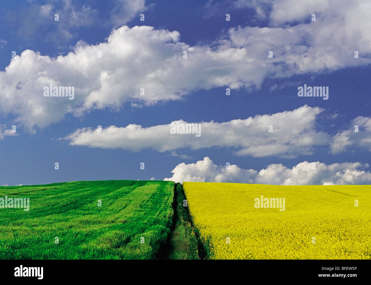 Blooming canola and barley fields, Tiger Hills, Manitoba, Canada - Stock Image