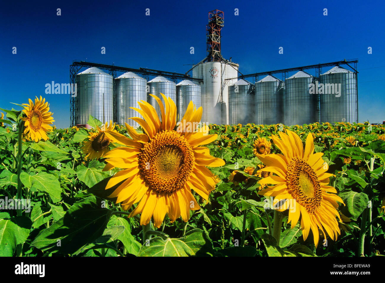 Sunflower (Helianthus annuus) field and inland grain terminal near Winnipeg, Manitoba, Canada Stock Photo