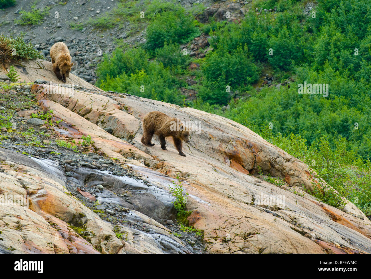 Mother and young female Grizzly bears (Ursus arctos horribilis) descending a rock formation called a Roche Moutonnee - Stock Image