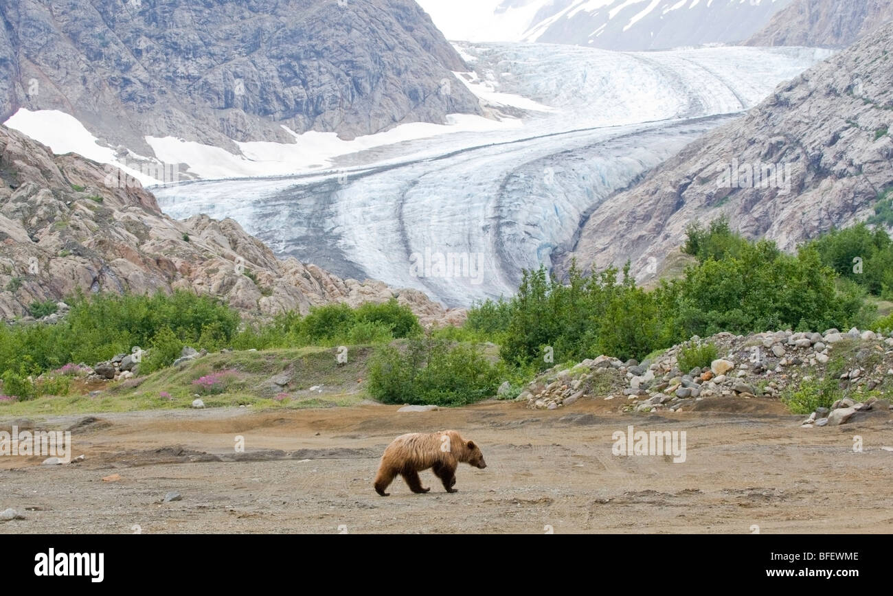 Young female Grizzly Bear (Ursus arctos horribilis) walking on river flats Berendon Glacier Coastal Mountains British Stock Photo