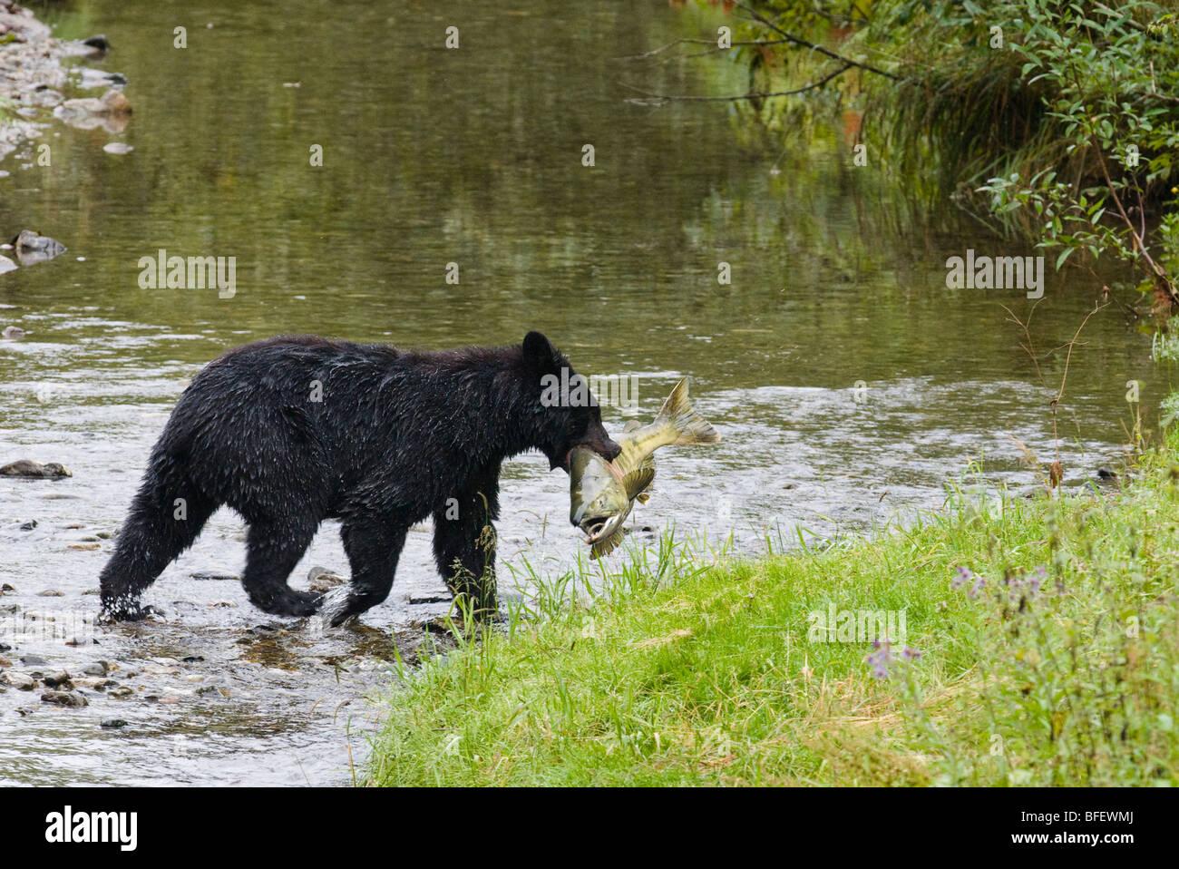 Adult Black bear (Ursus americanus) with Chum salmon it has just caught, Fish Creek, Tongass National Forest, Alaska, - Stock Image