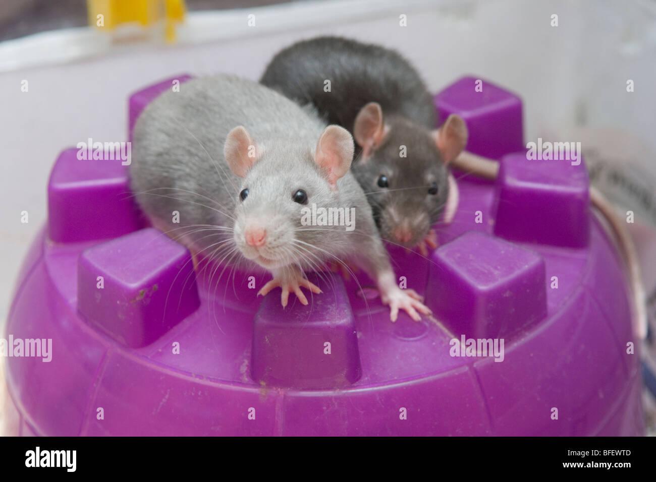 Two curious young pet rats (Rattus norvegicus) on top of their igloo house, Saskatchewan, Canada - Stock Image