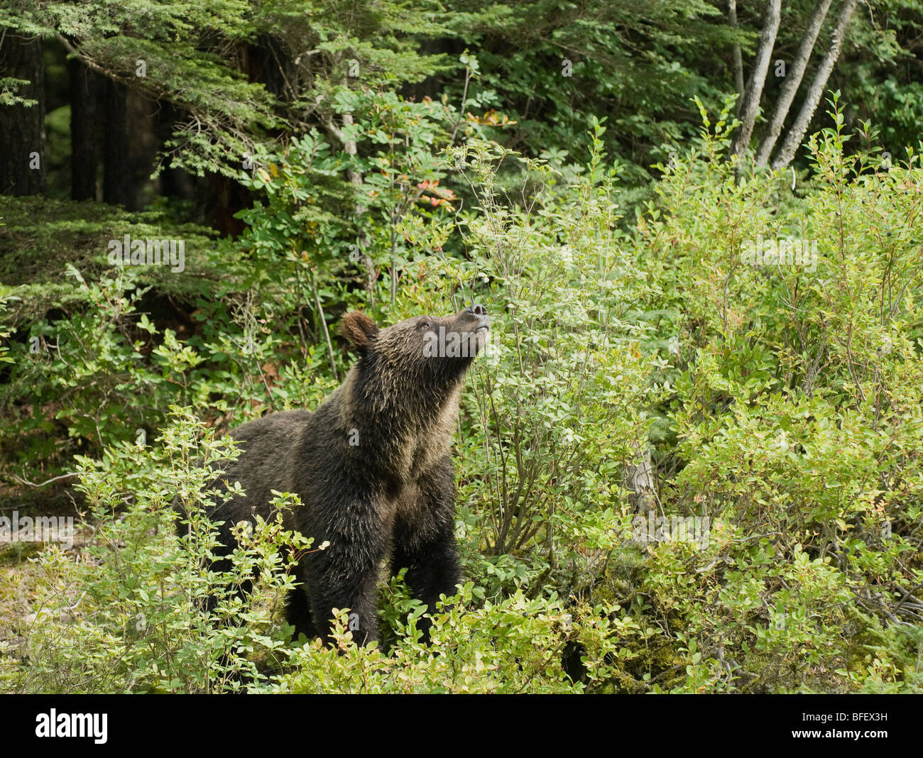 Grizzly Bear (Ursus arctos horribilis) Adult takes a break from feeding to scent air for danger.  Blueberries (Vaccinium - Stock Image
