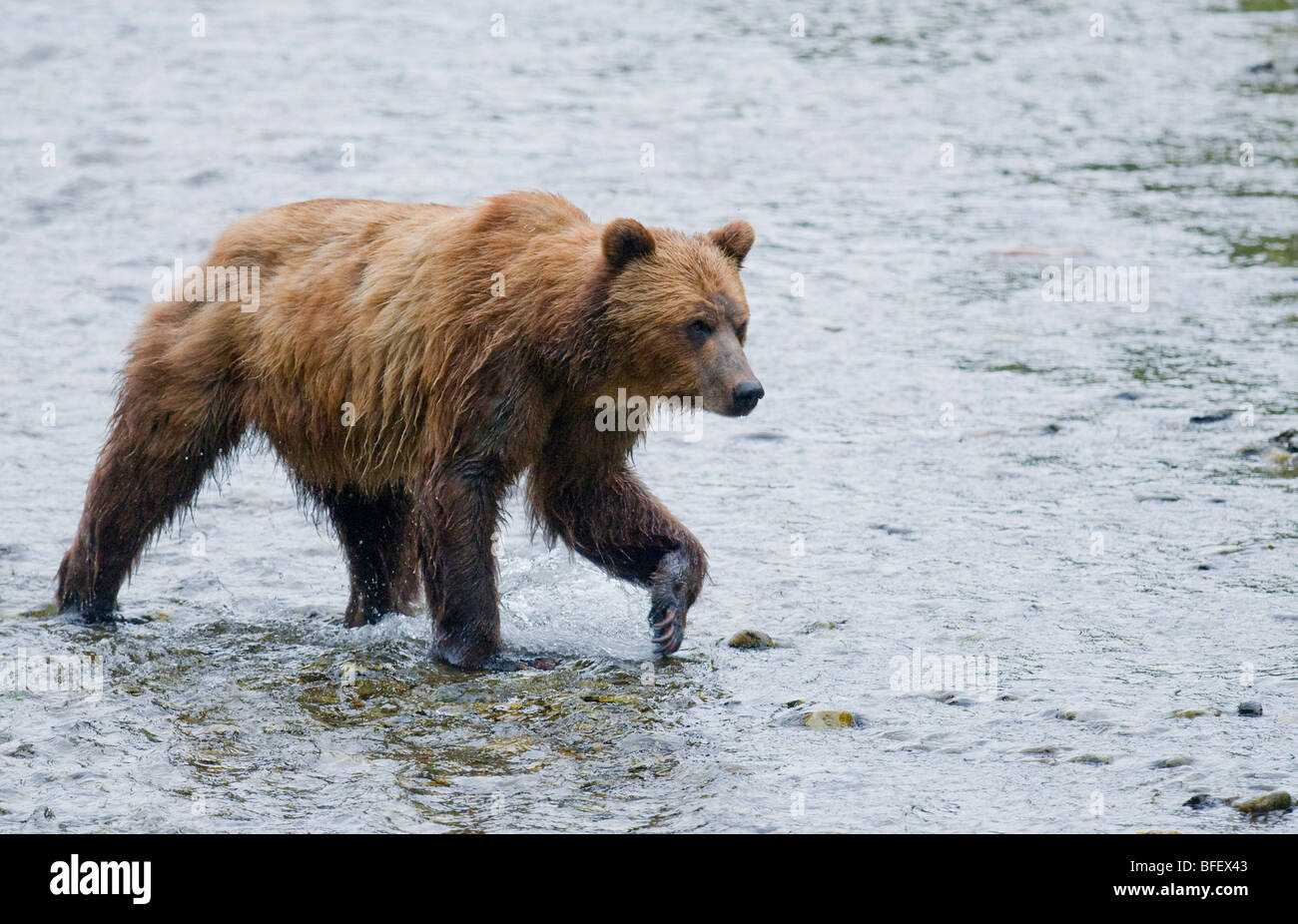 Grizzly Bear (Ursus arctos horribilis) Adult watching for salmon in spawning stream. In costal areas grizzliy frequents - Stock Image