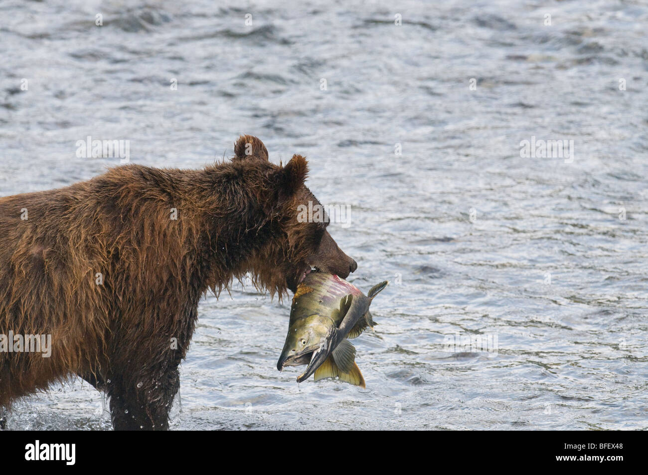 Grizzly Bear (Ursus arctos horribilis) Adult with Chum (Oncorhynchus keta) Salmon male. During Salmon Spawn in Costal - Stock Image