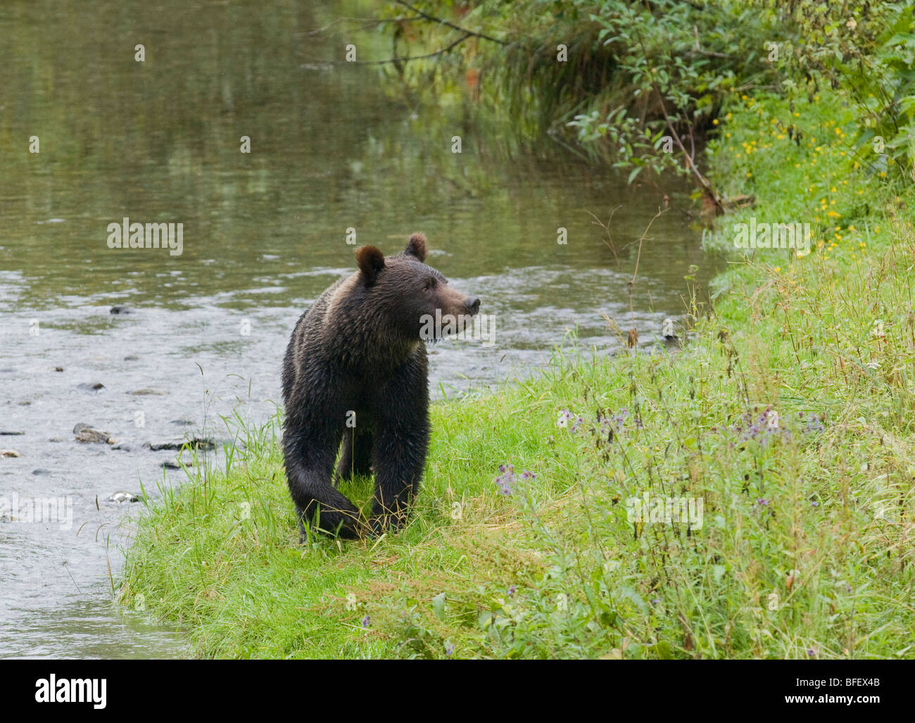 Grizzly Bear (Ursus arctos horribilis) Juvenile. Normally a solitary animal but in costal areas grizzly congregates - Stock Image