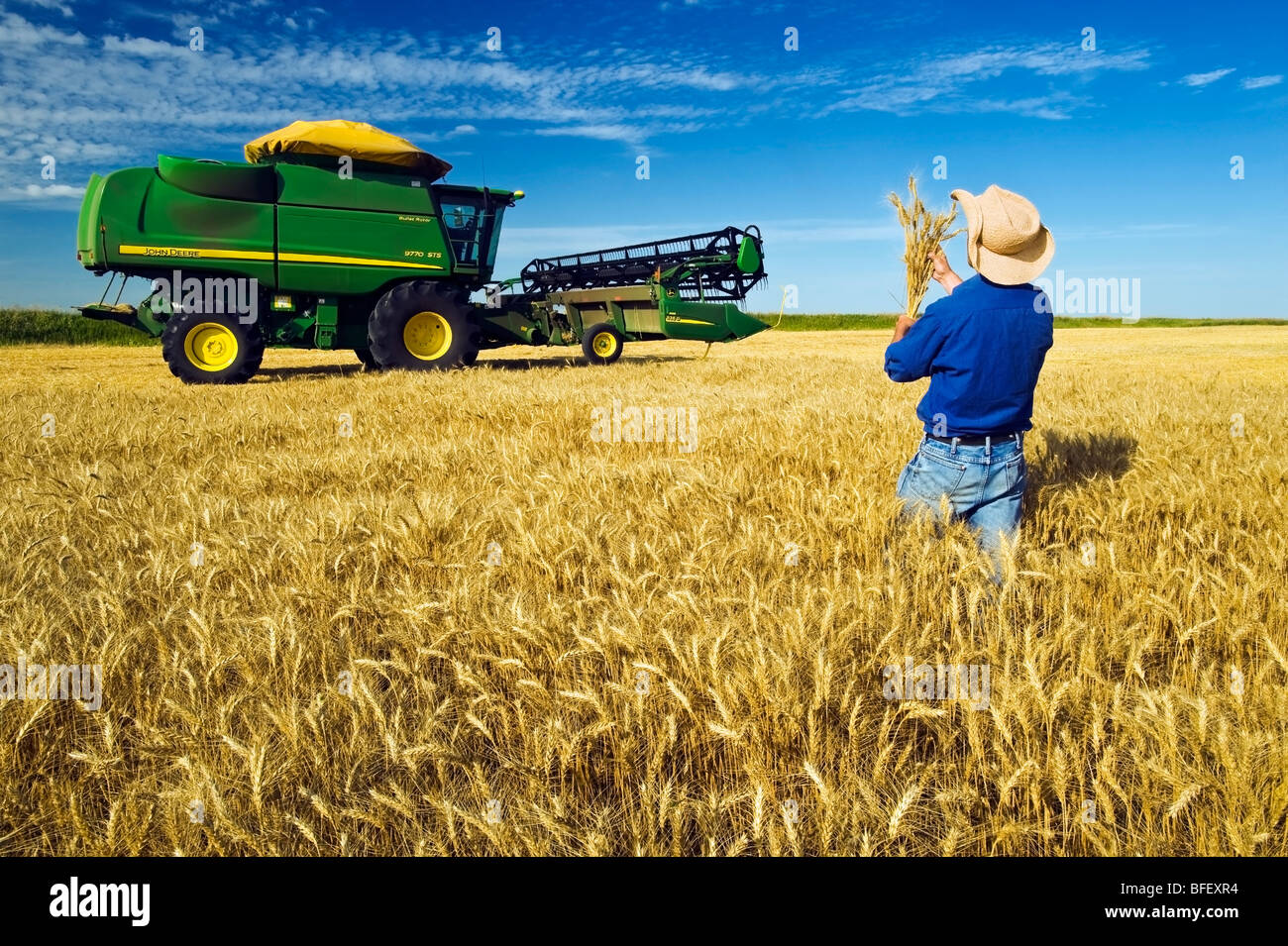a man checks a harvest ready winter wheat crop with a combine harvester in the background, near Kane, Manitoba, - Stock Image
