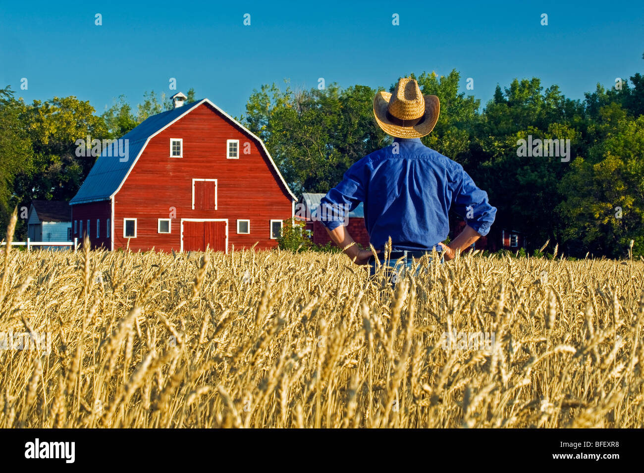 a man looksout over a harvest ready spring wheat field with a red barn in the background , Grande Pointe,  Manitoba, - Stock Image