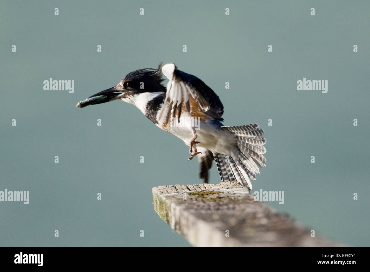 Female Belted Kingfisher (Ceryle alcyon) with a fish in her bill and wings out lifts off of her perch on a dock - Stock Image