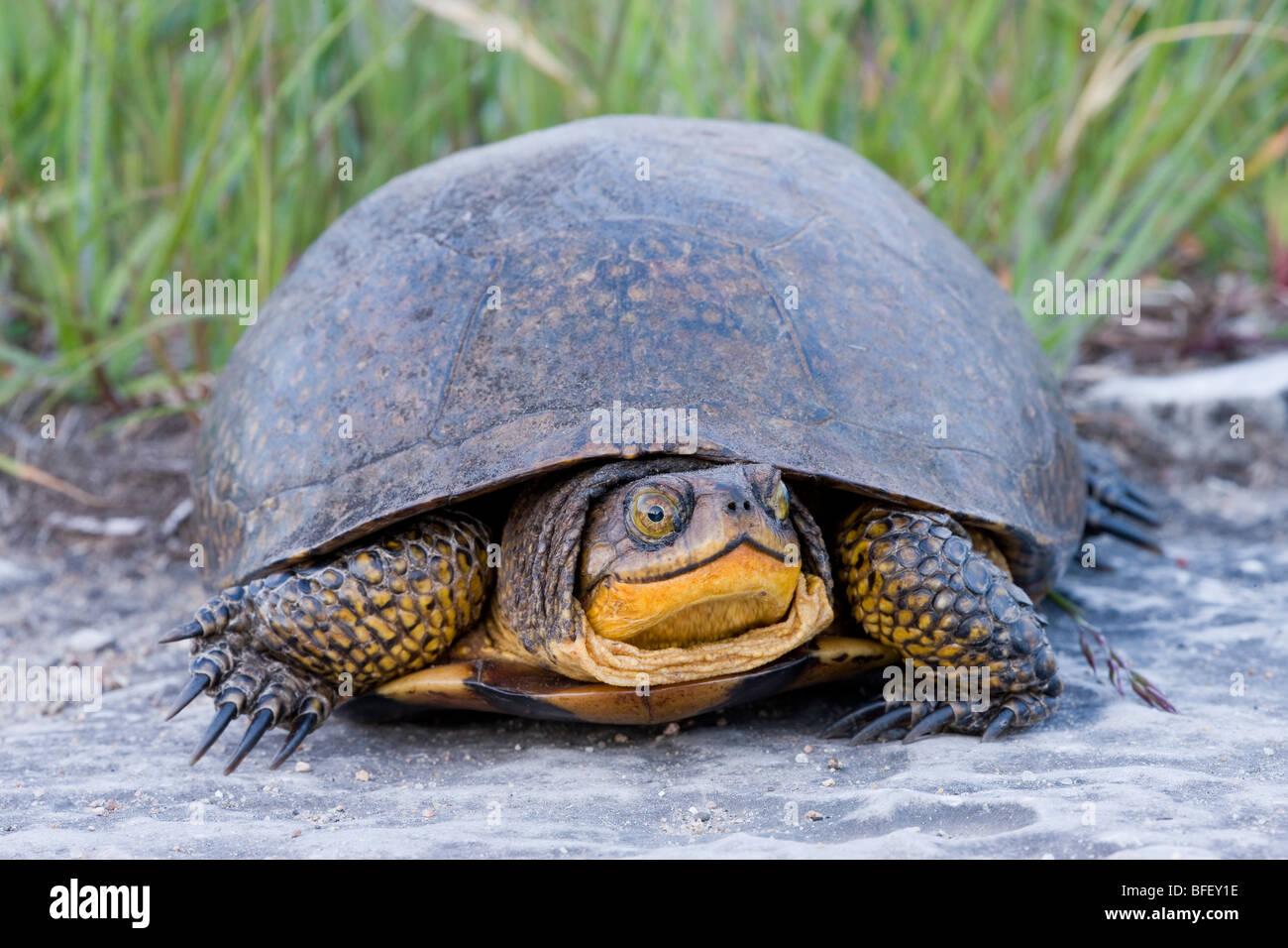 Blanding's Turtle (Emydoidea blandingii) (Endangered in Nova Scotia; Threatened in Great Lakes/St. Lawrence) - Stock Image