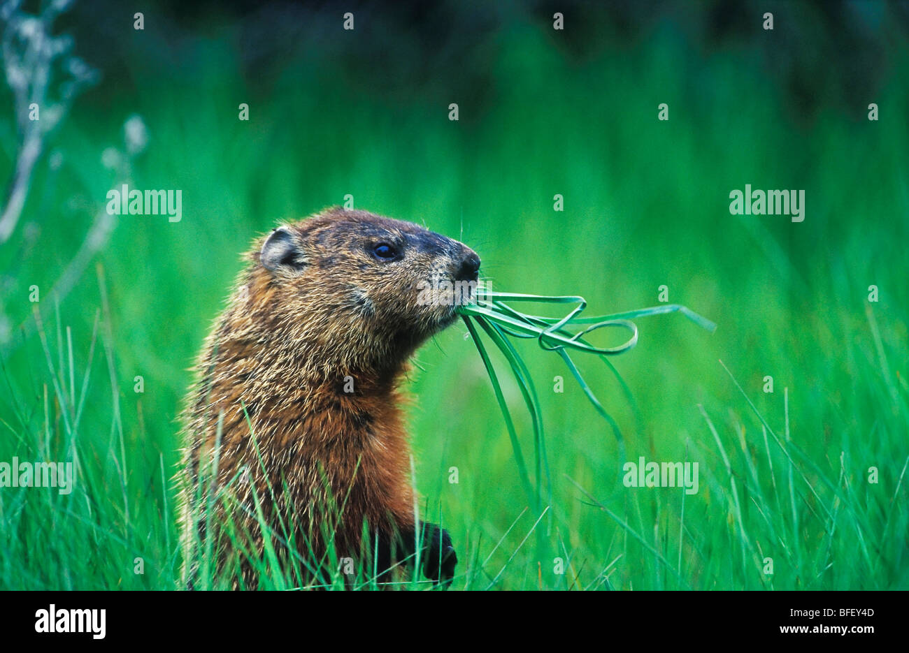 Woodchuck (Groundhog) (Marmota monax) chewing on grass while it looks around Prince Edward Point National Wildlife - Stock Image