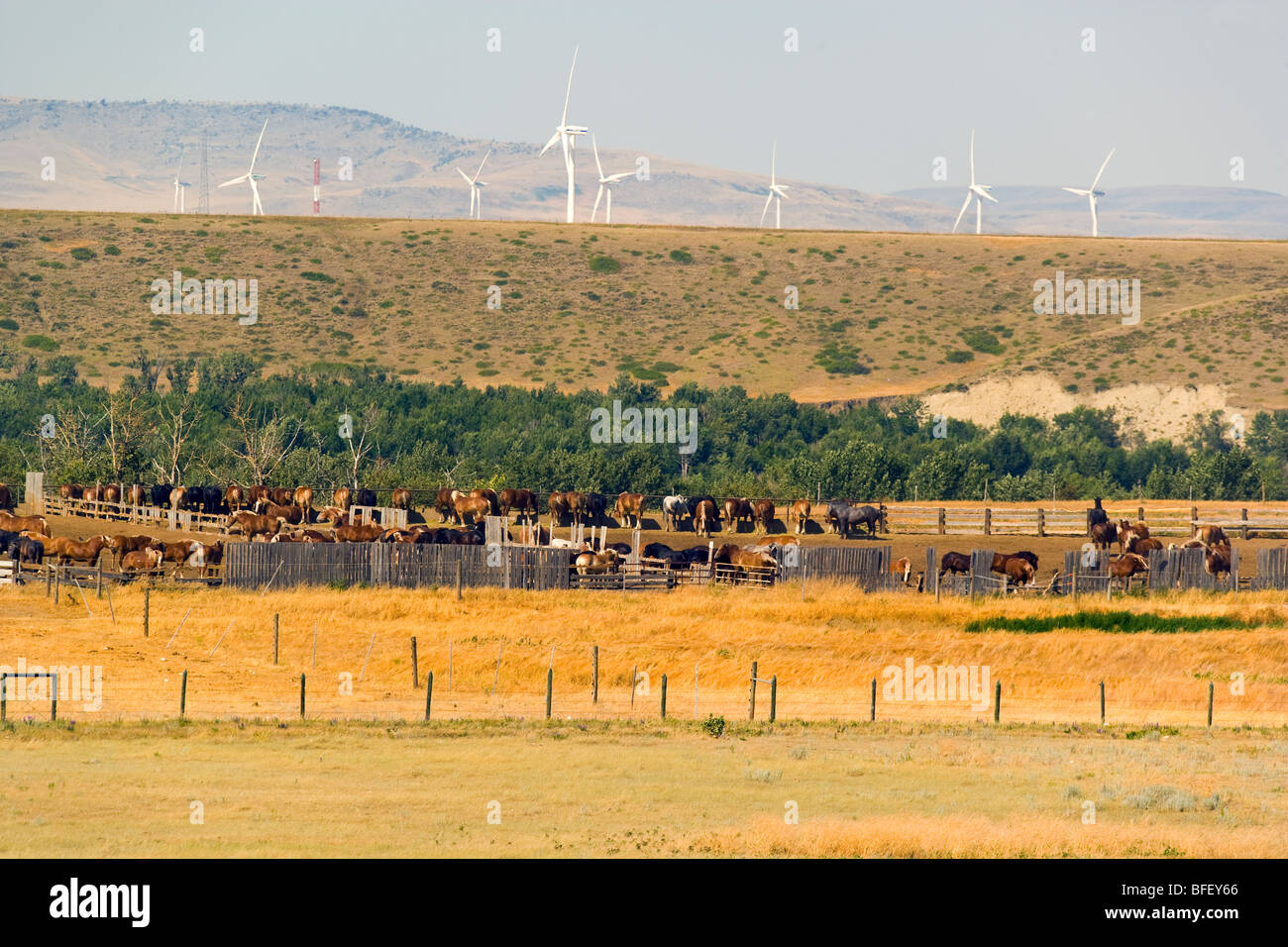 Work horses and Wiind turbines, Pincher Creek, Alberta, Canada, energy, Wind Energy, Alternate Energy - Stock Image