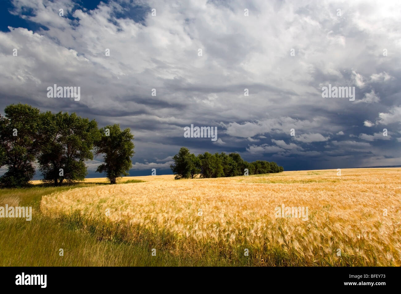 Thunder Storm near Crowfoot Ferry, Alberta, Canada, weather, grain, trees, Agriculture - Stock Image