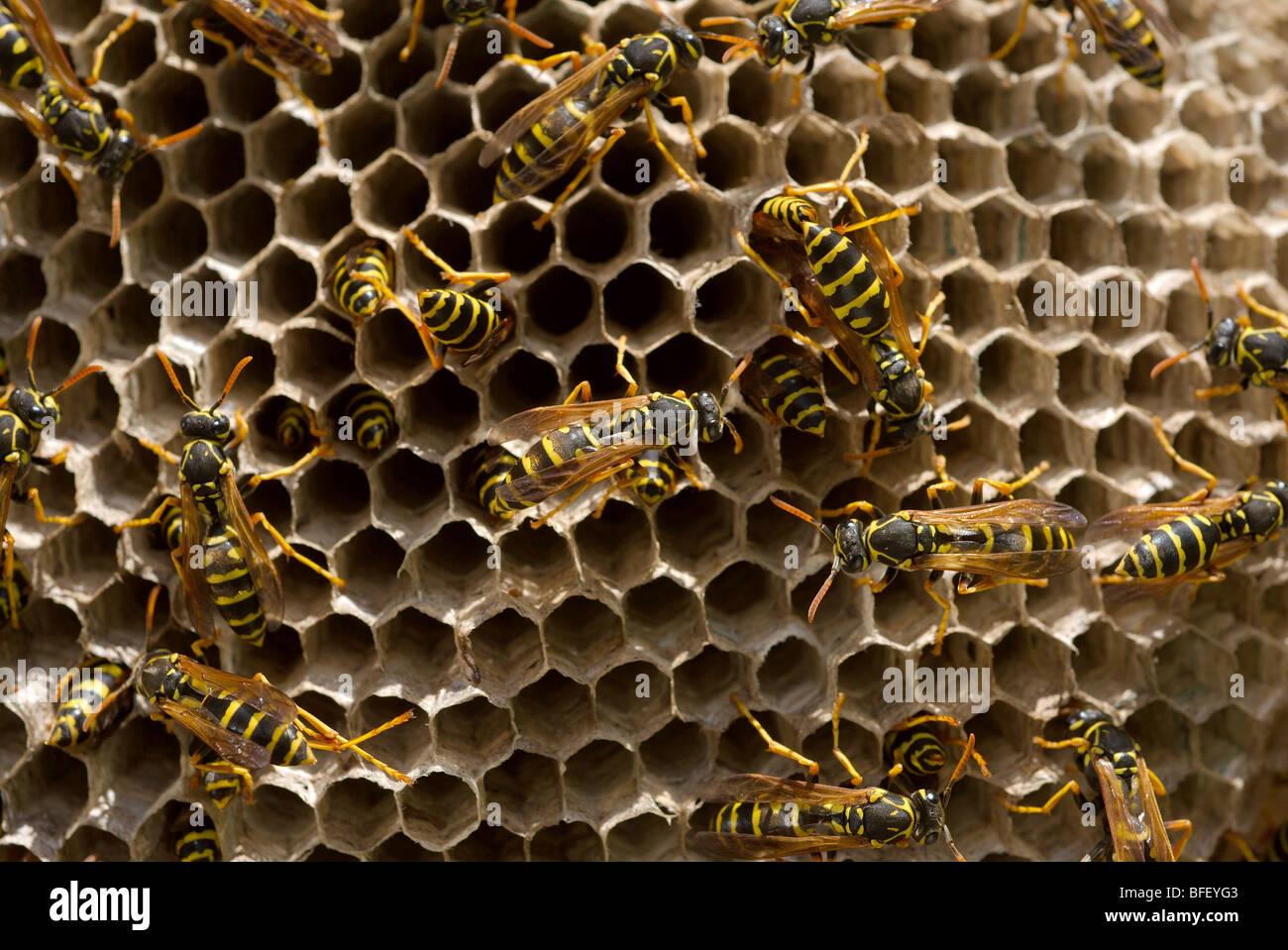 Wasps on nest built on window shutters - Stock Image