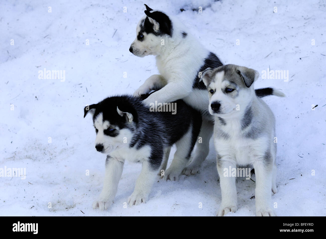 Six week old purebred Siberian Husky puppies in snow at Bright Angel Park, Cowichan Station, BC.  Model releae, - Stock Image