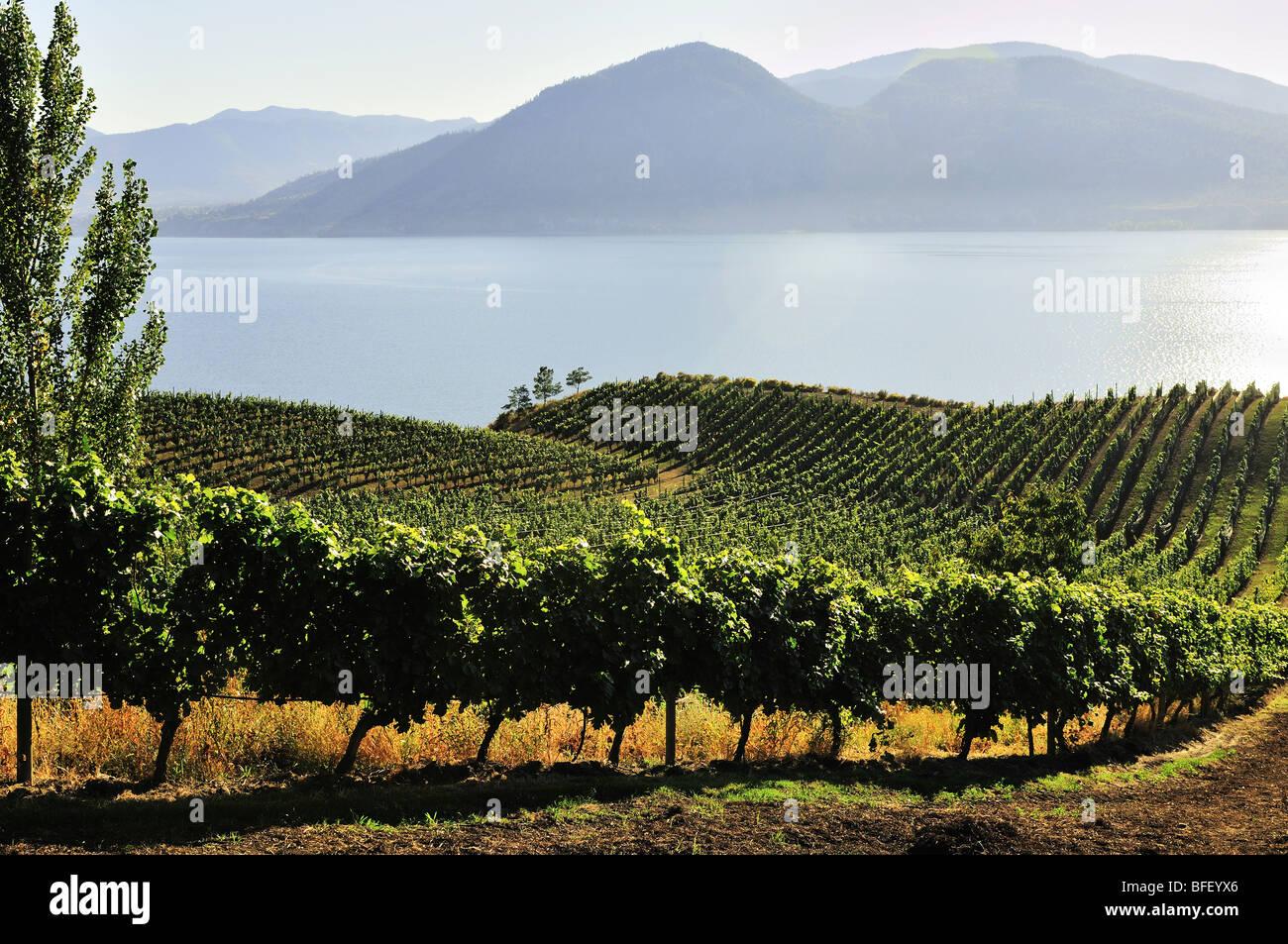 Lake Breeze Vineyards in Naramata, BC., overlooking Okanagan Lake. - Stock Image