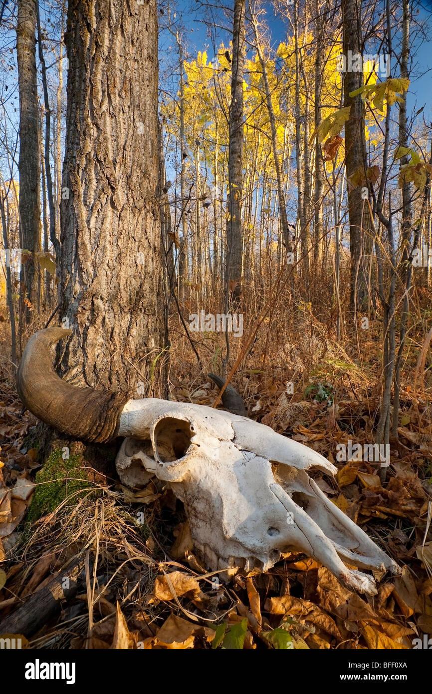 Bison (bos bison) skull on forest floor during Fall, Elk Island National Park, Alberta. - Stock Image