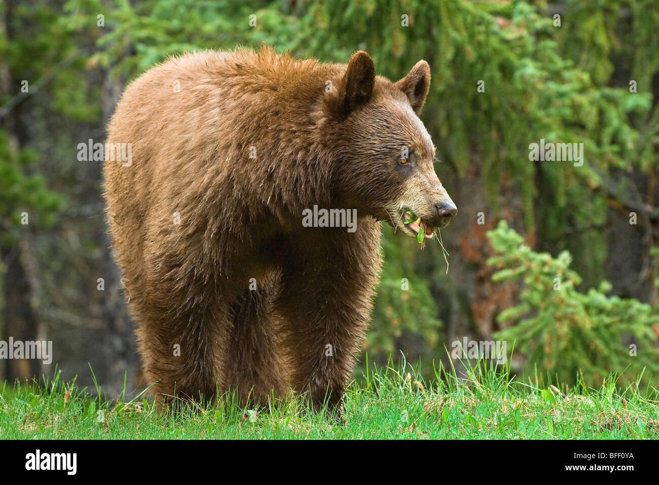 Cinnamon-coloured American black bear (Ursus americanus) grazing on roadside grasses and horestails Rocky Mountains - Stock Image