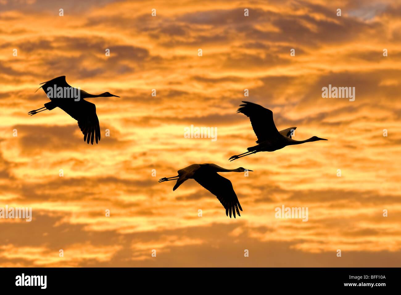Sandhill cranes (Grus americana), central Florida, U.S.A. - Stock Image