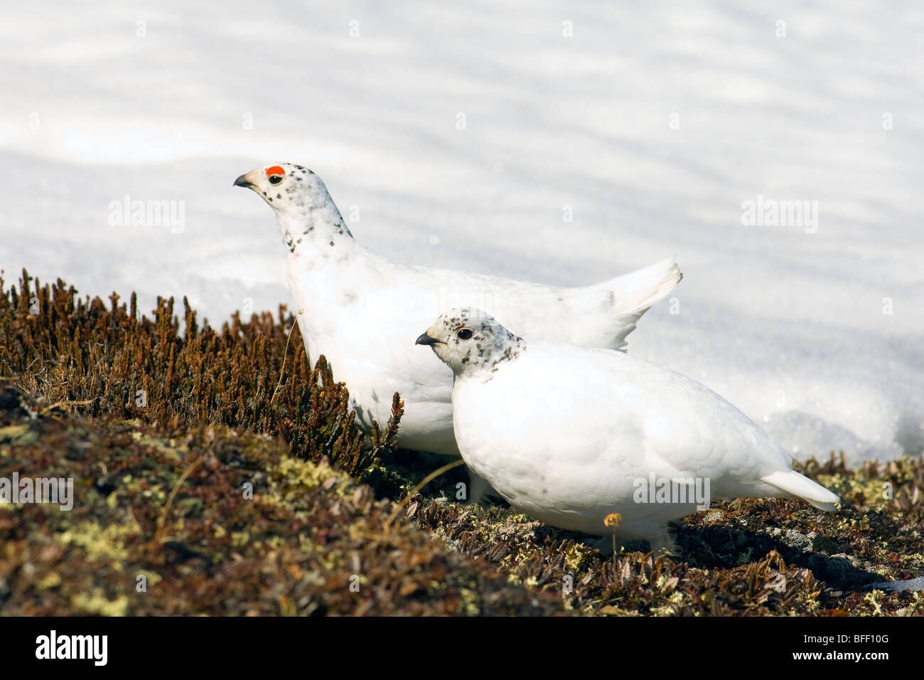 Adult male & female white-tailed ptarmigan (Lagopus leucurus) pair in late-spring plumage, northern Rocky Mountains, Alberta Stock Photo