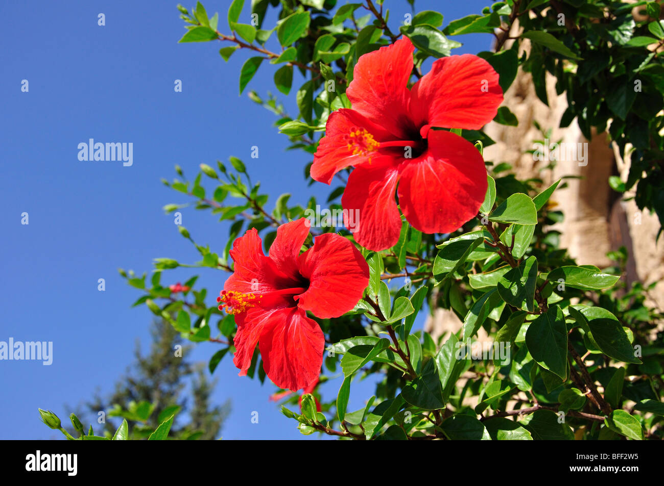 Turkish Hibiscus Stock Photos Turkish Hibiscus Stock Images Alamy