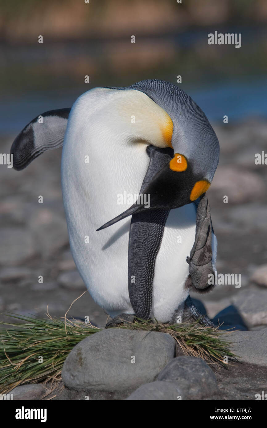King Penguin, Aptenodytes patagonicus, preening, Salisbury Plain, South Georgia, South Atlantic Ocean. Stock Photo