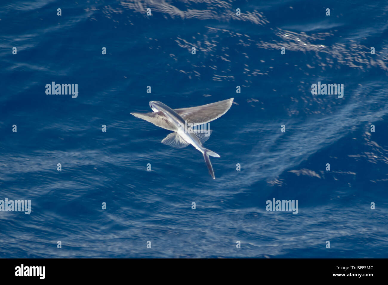 Flying Fish Species in mid air, scientific name unknown, South Atlantic Ocean. Stock Photo