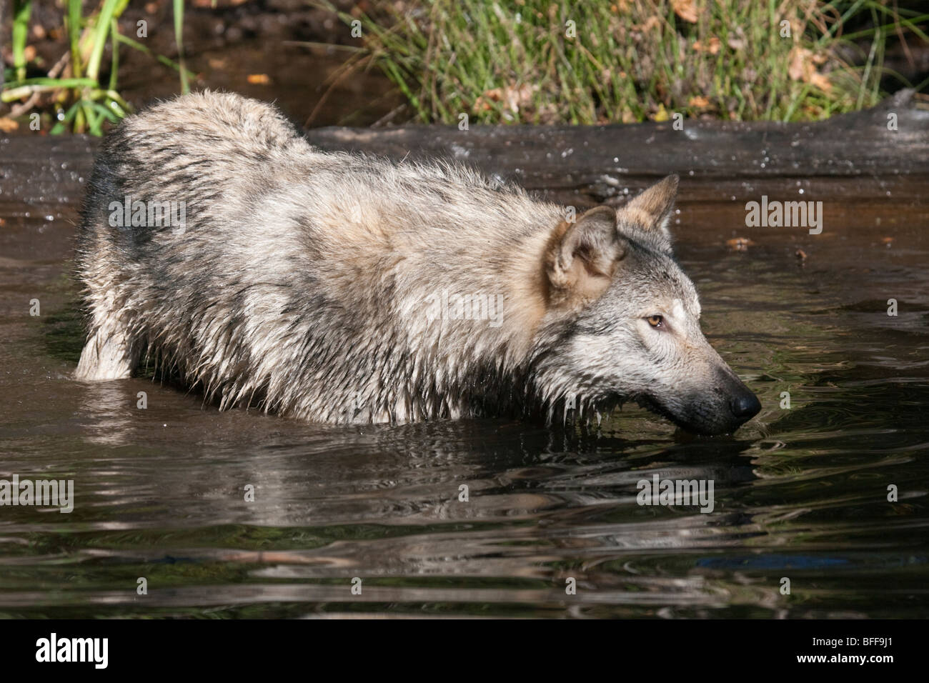 Timber or gray wolf standing in a small pond up to its nose in water. Stock Photo